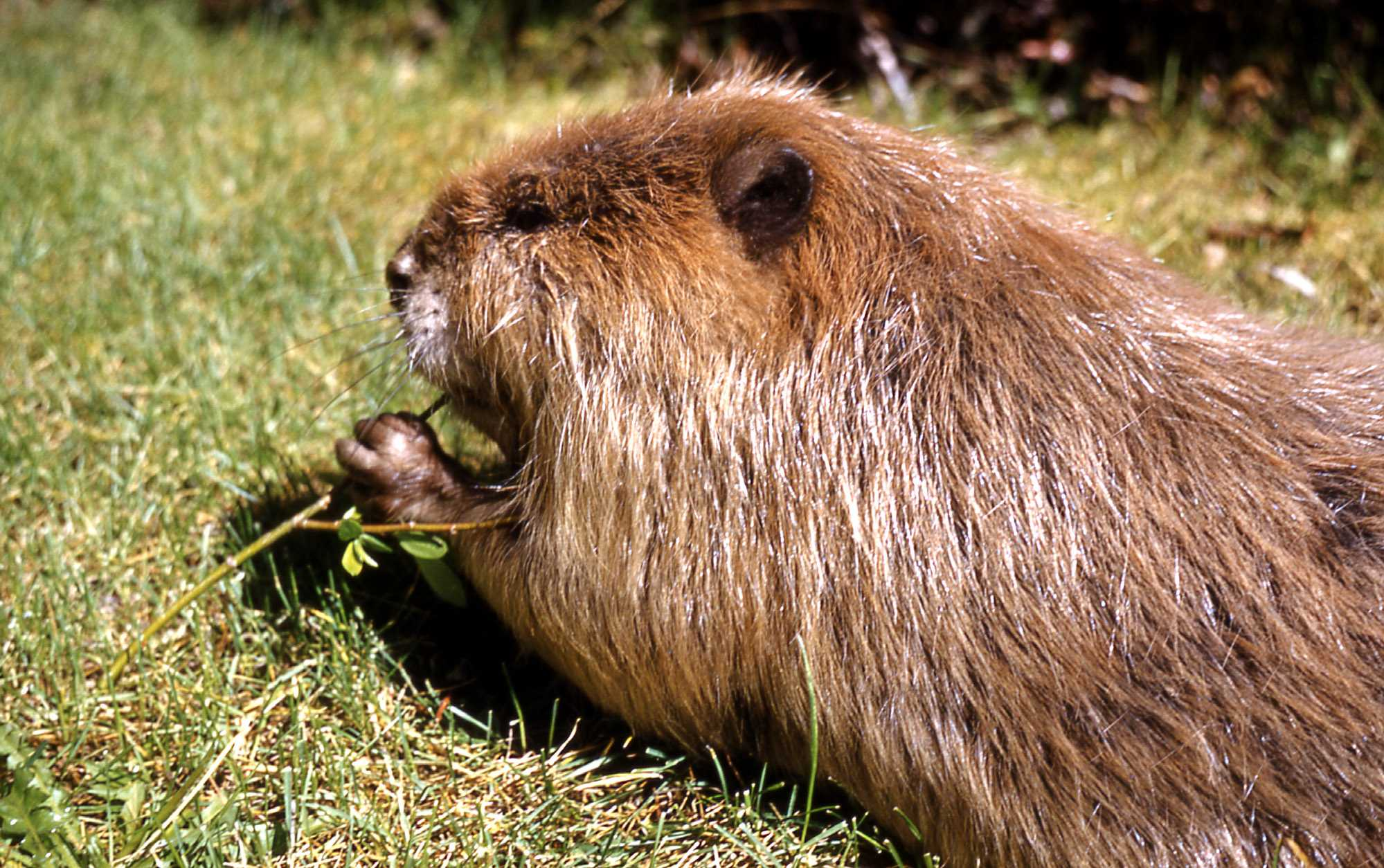 North American beavers are the only other beaver species (Credit: Kevin Ebi/Alamy