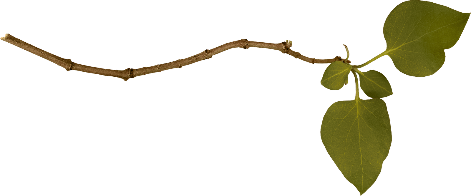 Branch PNG Image
