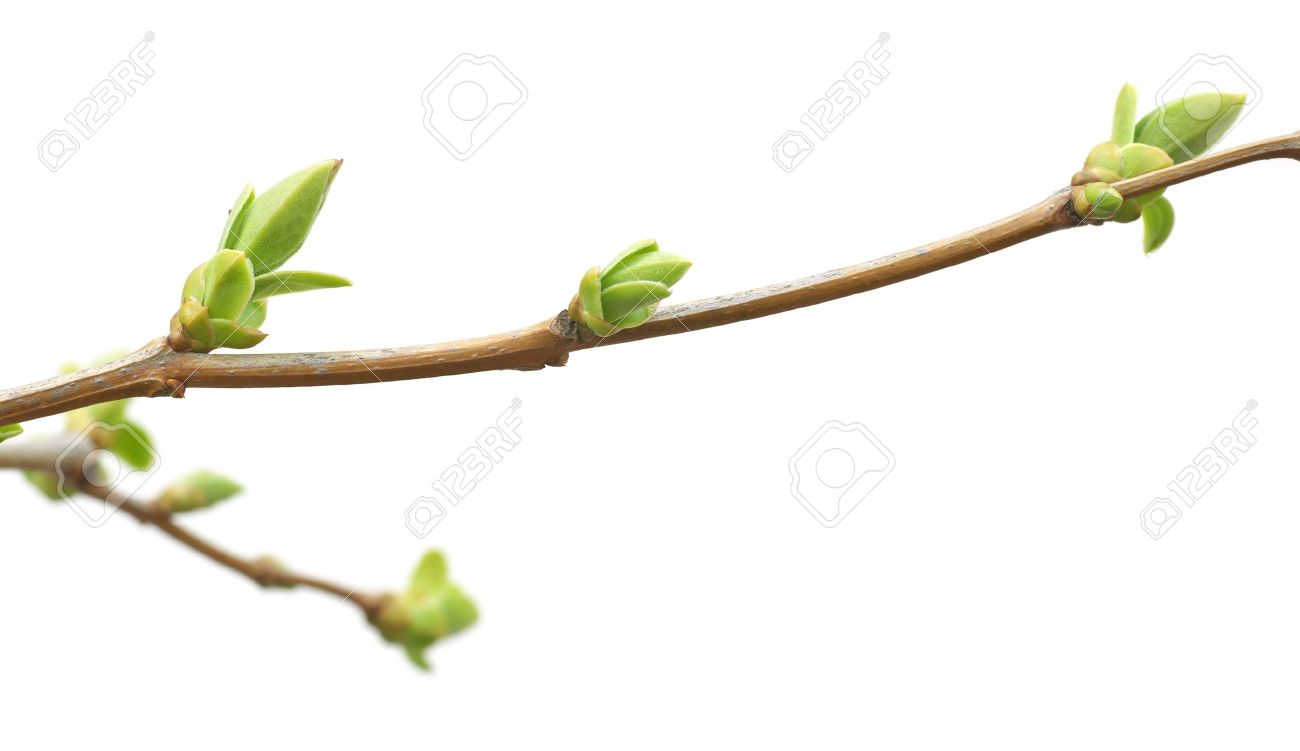 Isolated branch and buds. Nature design. Stock Photo - 10120875