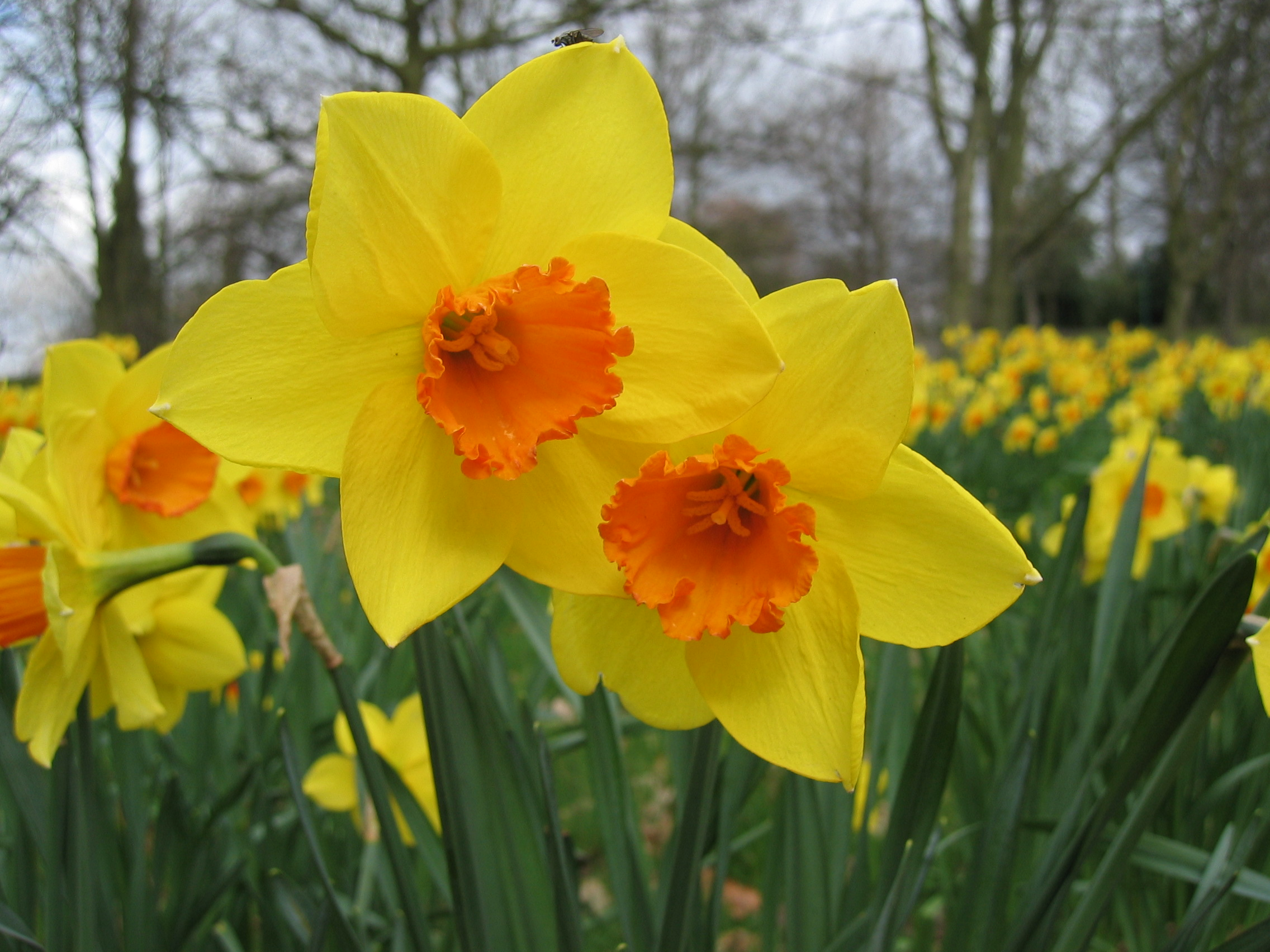 Fall Means Daffodil Planting!