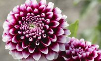 Dahlia Plant Types: What Are The Different Varieties Of Dahlia u0026middot; u0026quot; ...