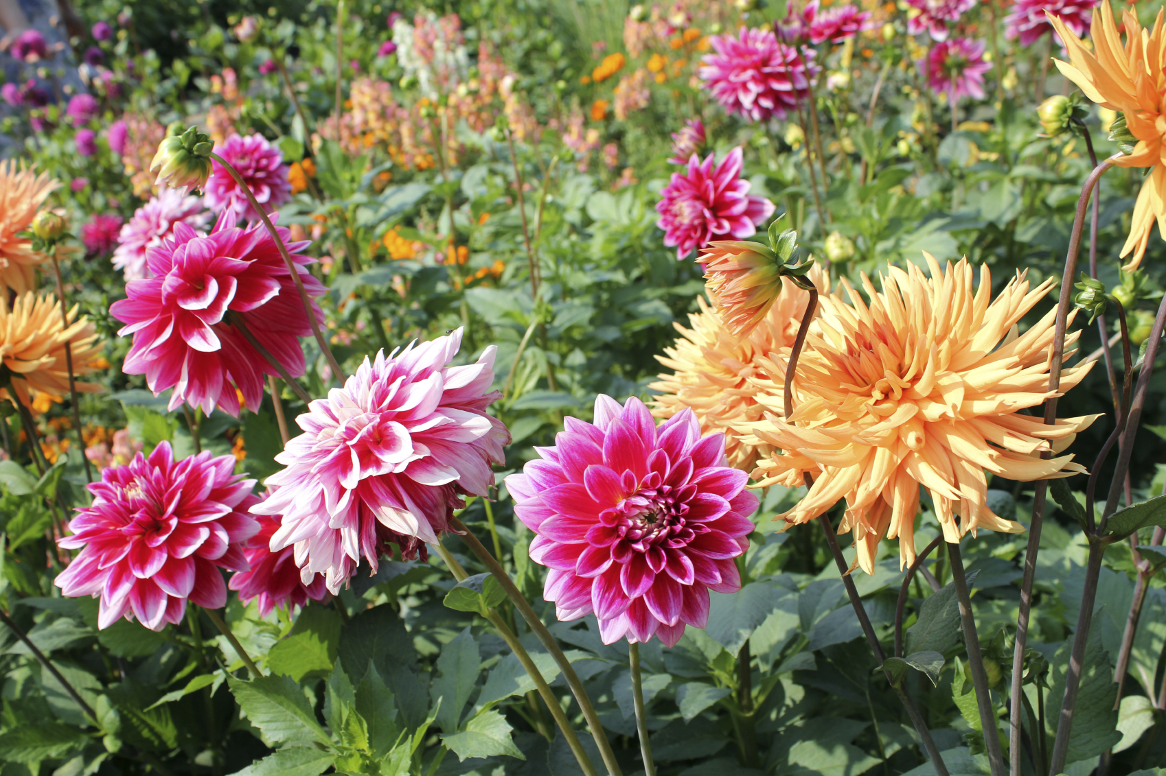 Dahlia flowers and Google search