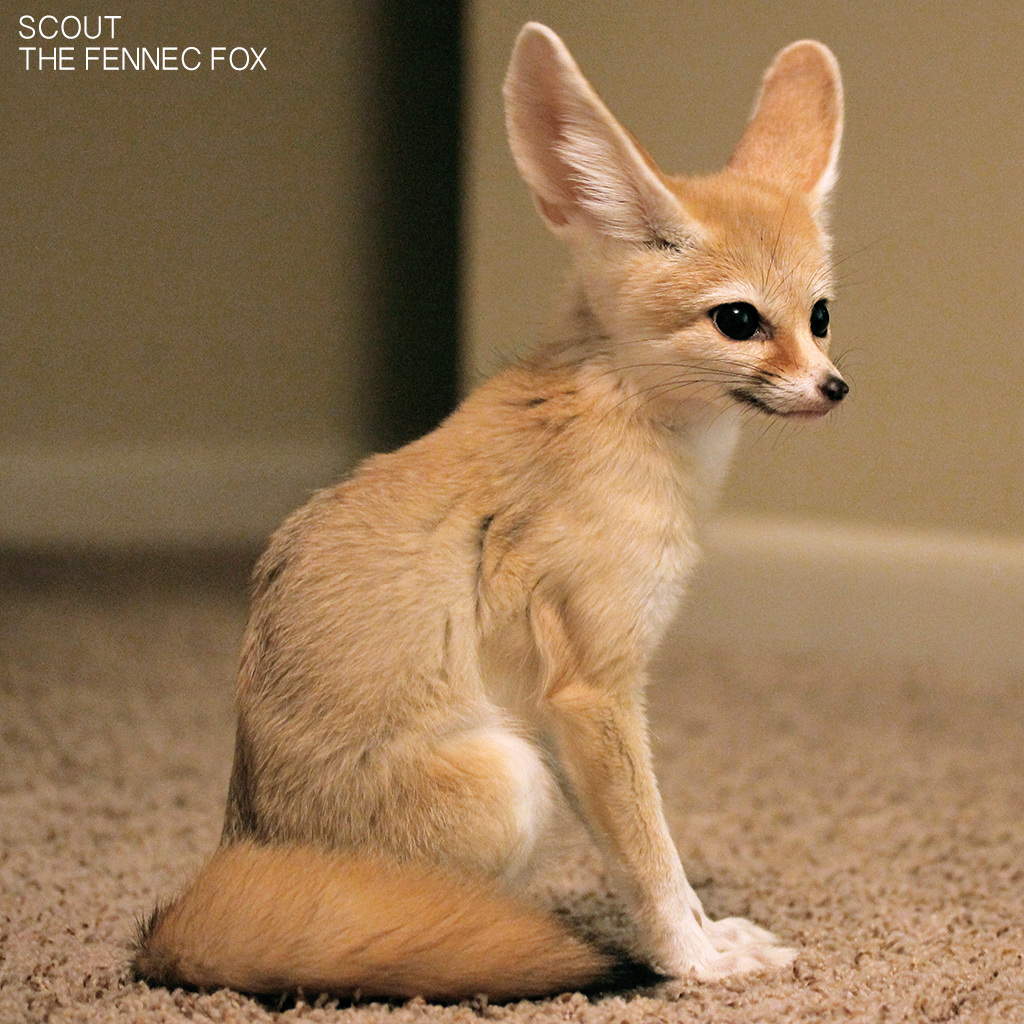 Fennec Fox Wallpapers HD Backgrounds