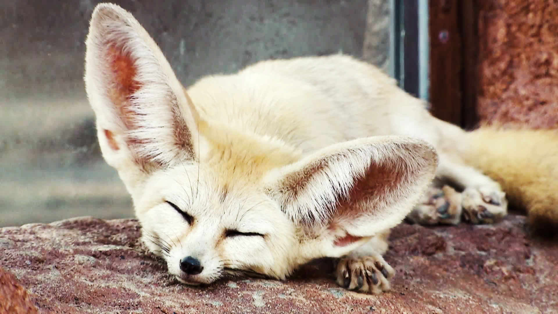 Absurd Creatures: The Fennec Fox Is So Cute I Think I Might Literally Die | WIRED