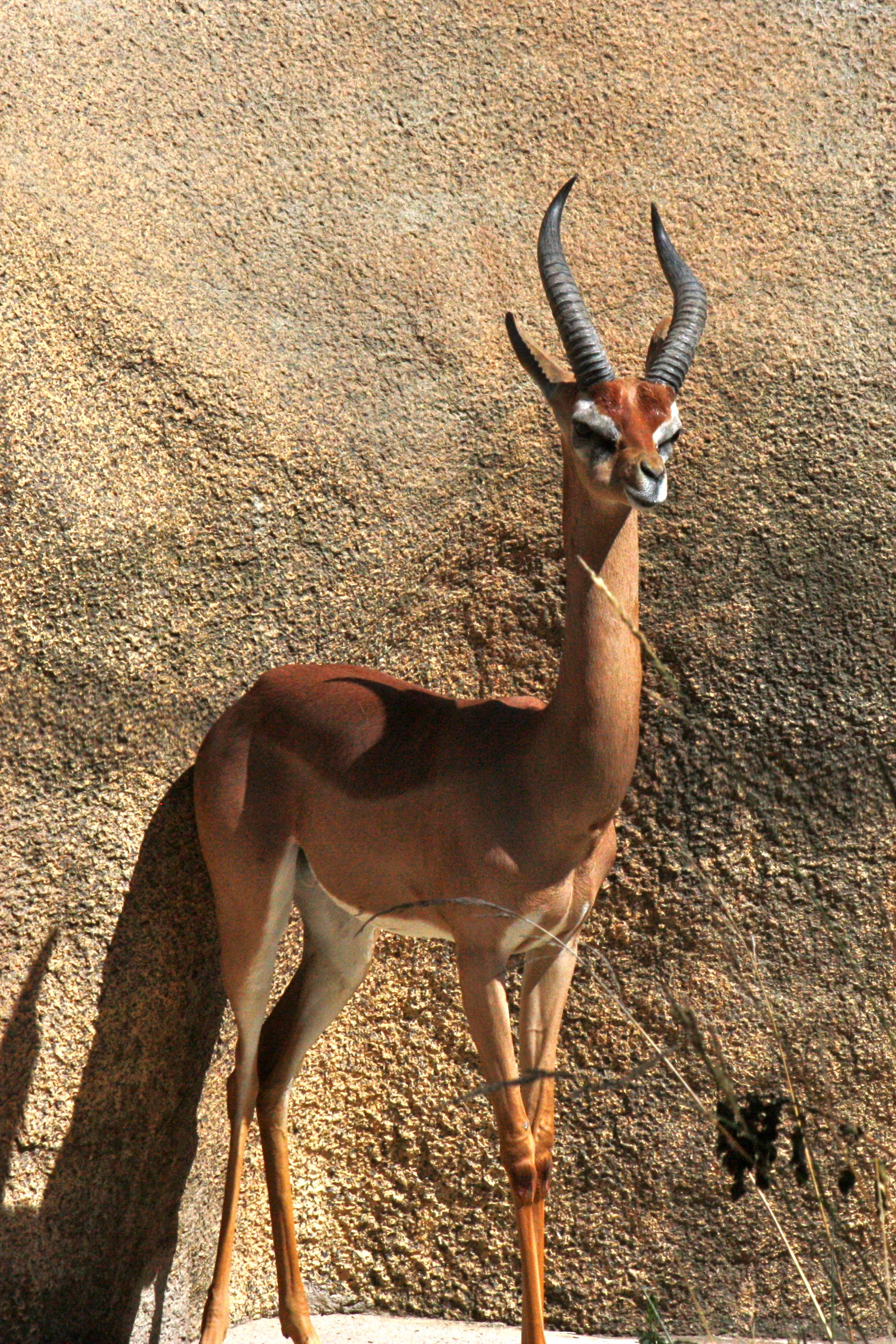 Zoological name: The zoological name of is Gazelle Gazella gazella. Distribution: Chinkara are distributed in north-western