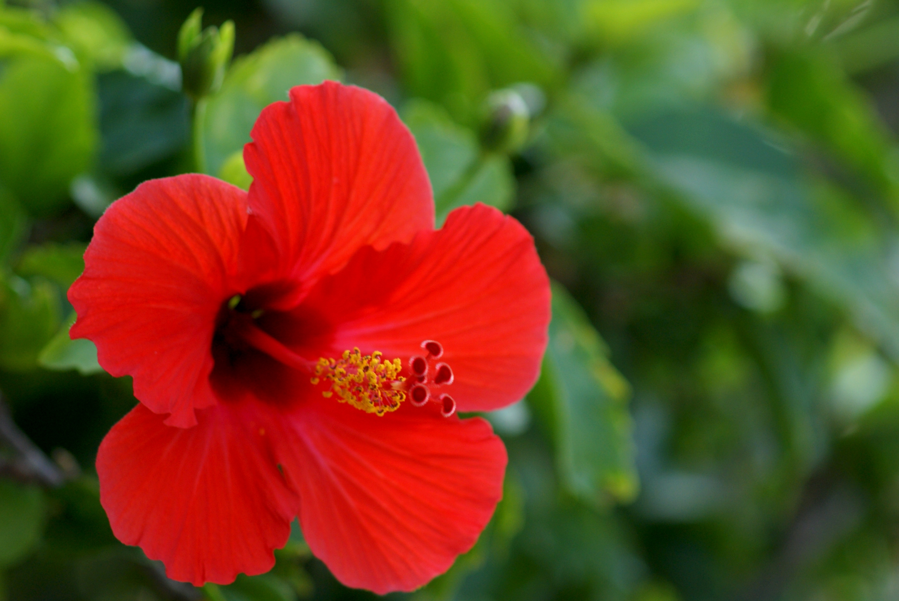 Hibiscus- Red ...