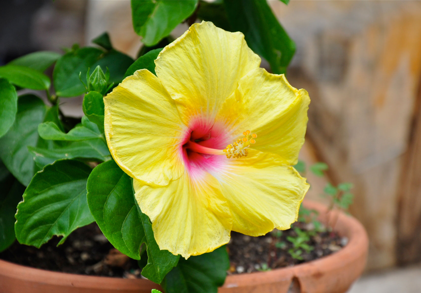 Hibiscus Container Care: Growing Tropical Hibiscus In Containers u0026middot; u0026quot; ...