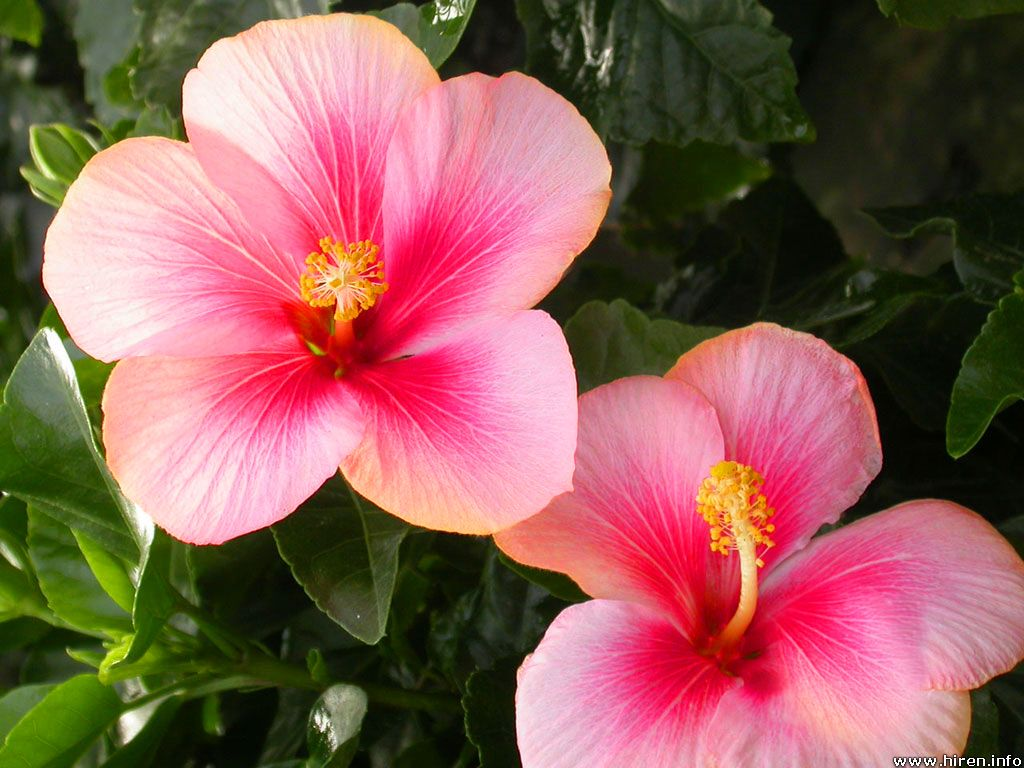 Whatever Happened to all the Hibiscus ?