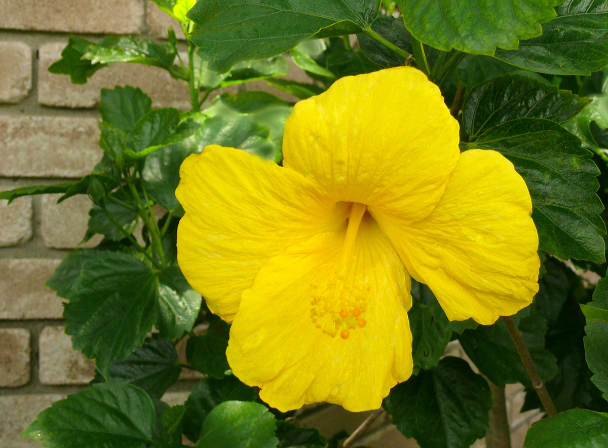 A yellow hibiscus in Houston.