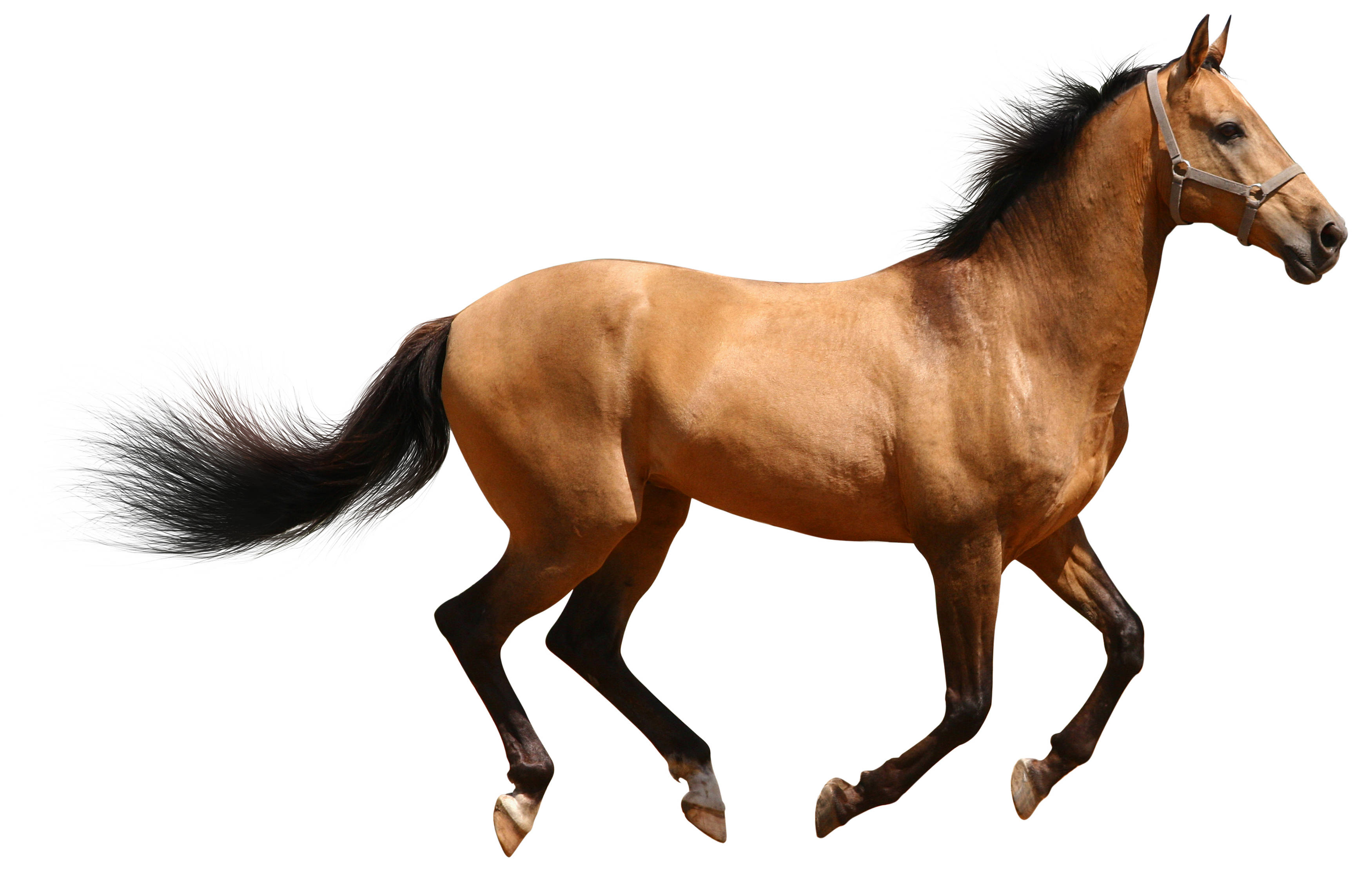 Horse Png image #22544