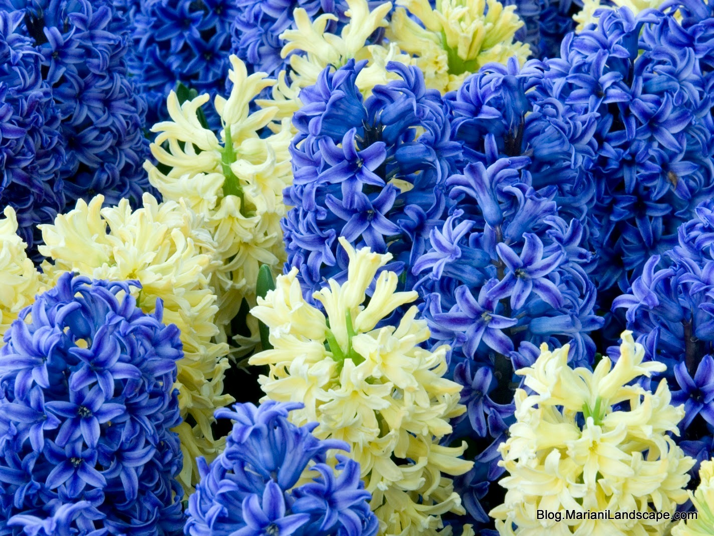 Yellow and blue common hyacinth ...