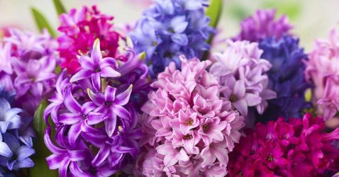Mulit-coloured hyacinths growing in a container