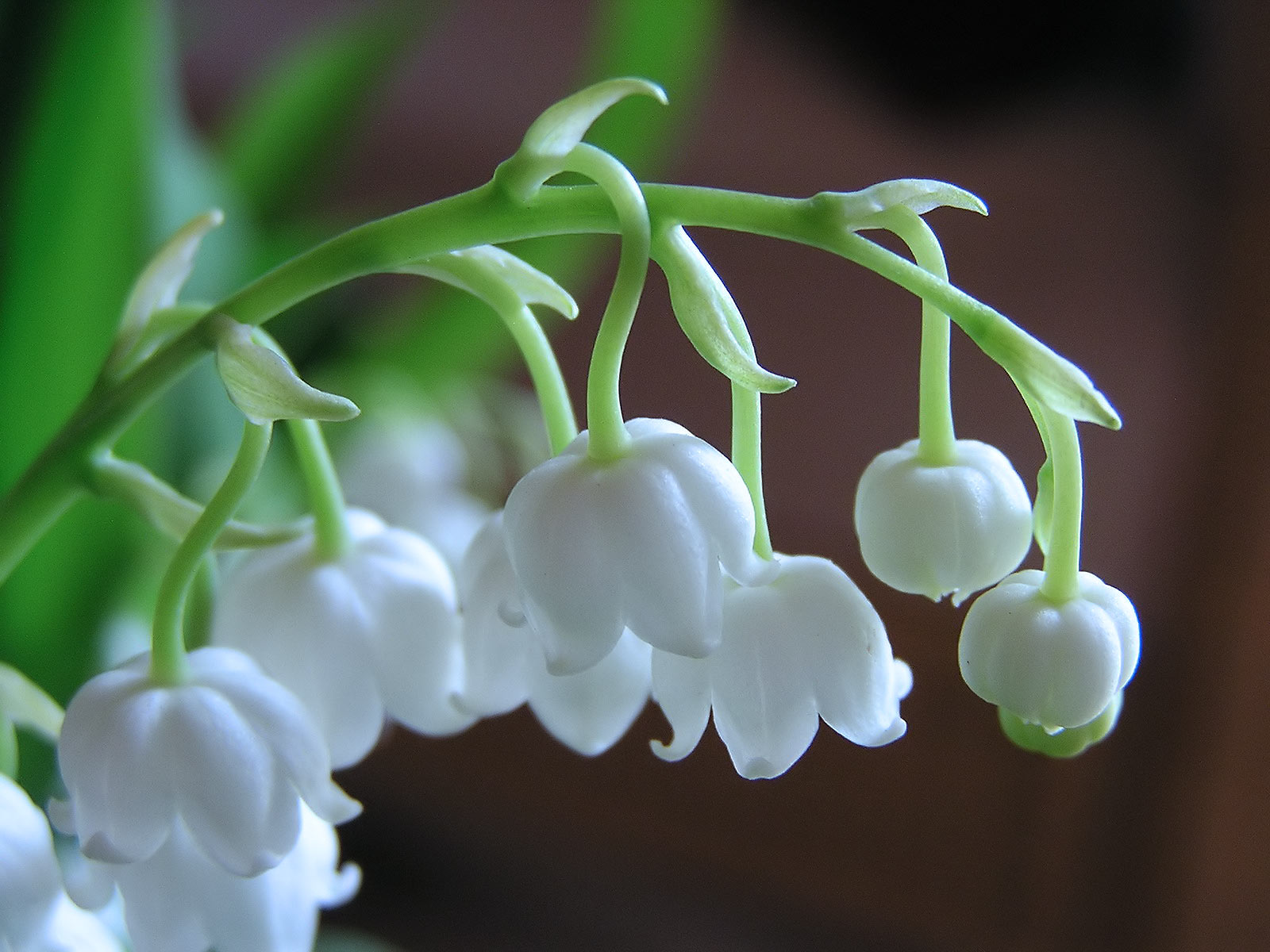 Lily of the valley - 12 photo