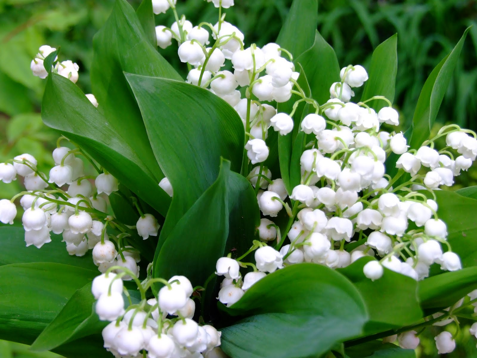 ... you If you saw a beautiful dream about a Lily of the valley