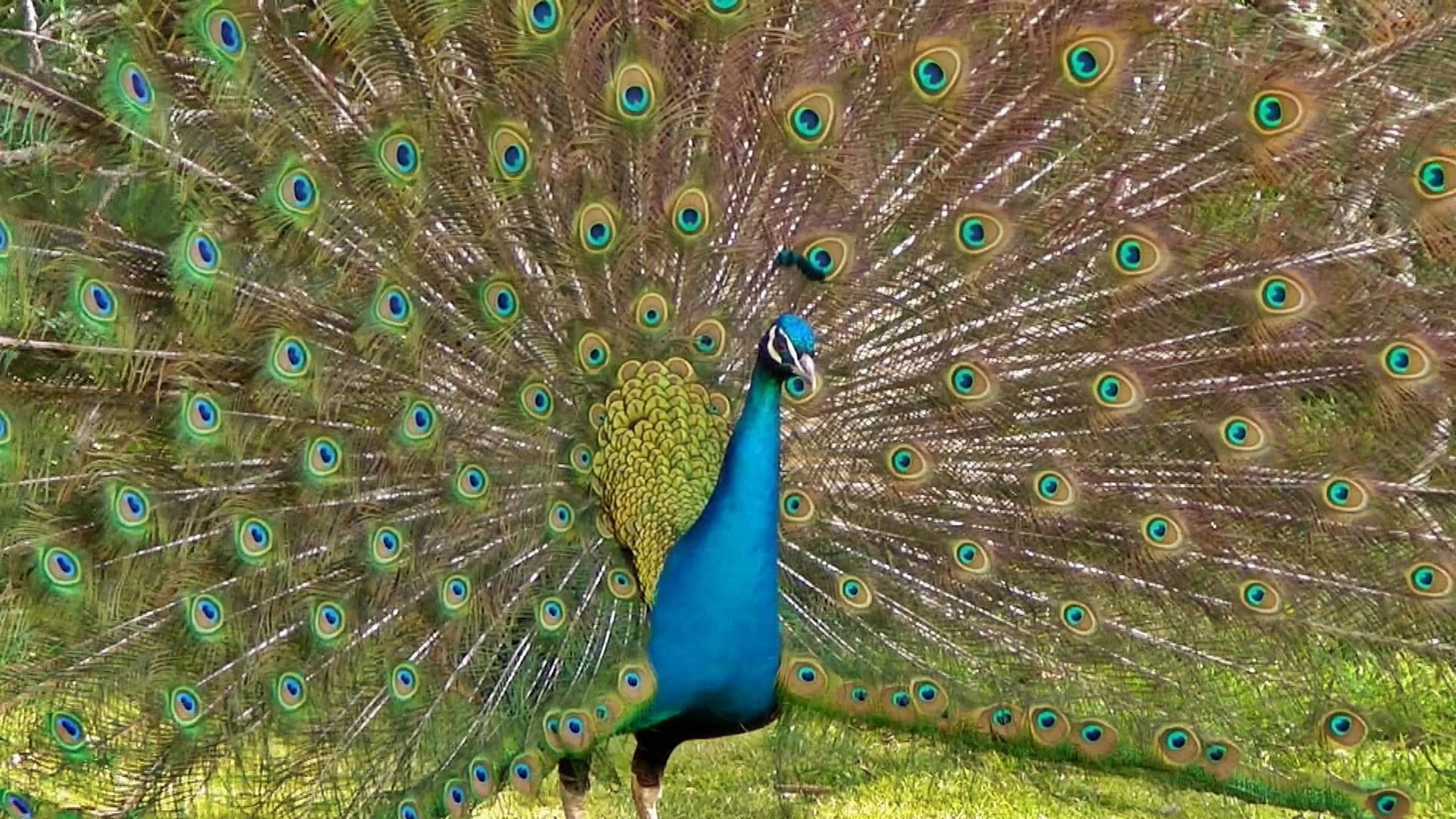 The Most Beautiful Peacock Dance Display Ever - Peacocks Opening Feathers HD u0026amp; Bird Sound - YouTube
