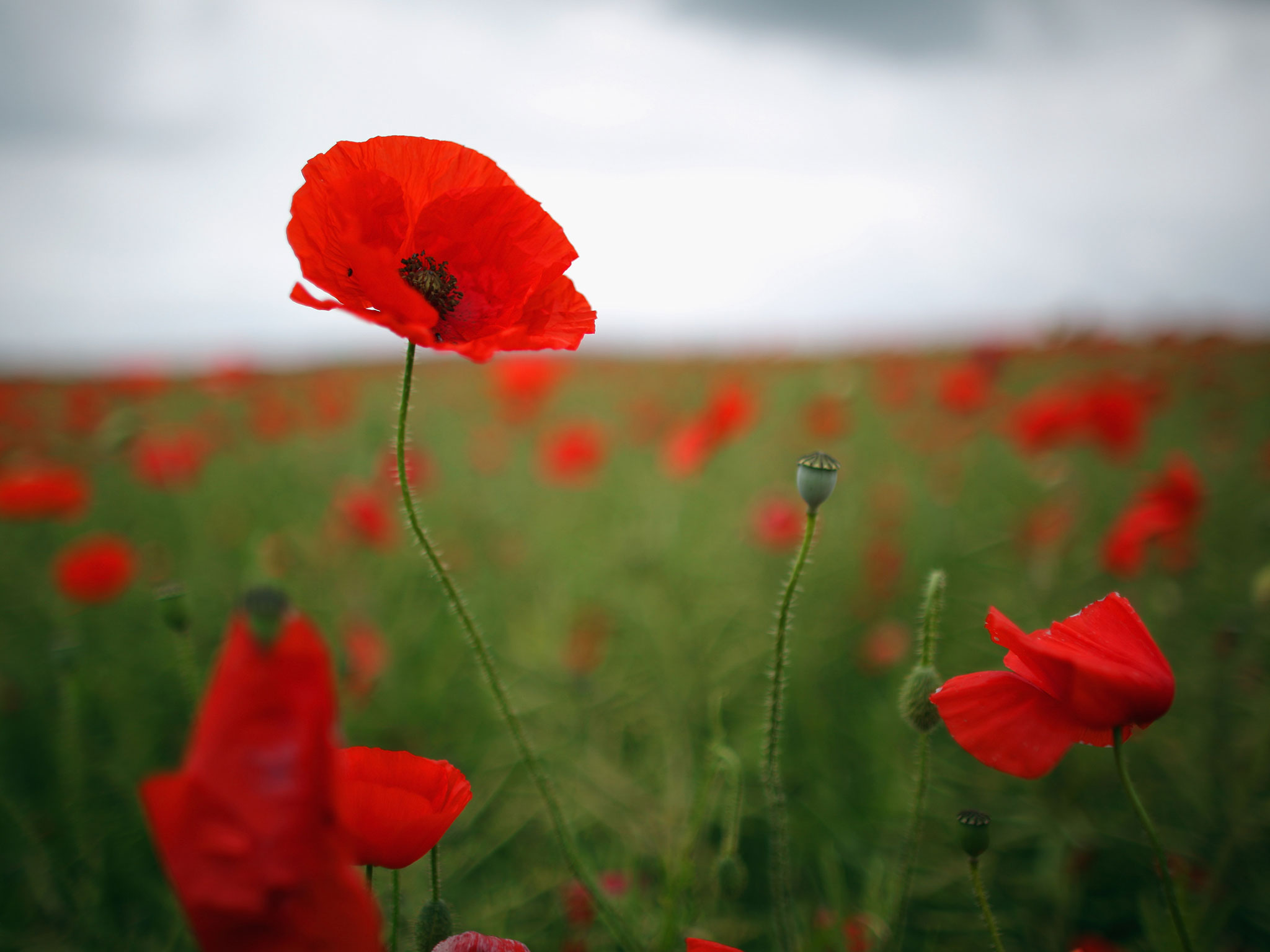 poppies will survive and are also able to germinate in chilly weather. Poppies should receive at least six hours of sunshine a day. ...