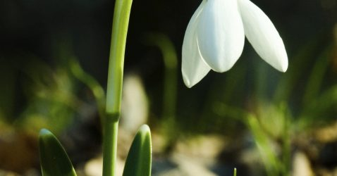 Snowdrops Bulbs: What Is u201cIn The Greenu201d ...
