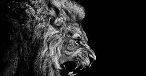 Black And White Lion Wallpaper
