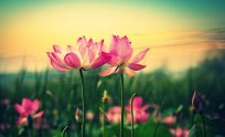 Lotus Flowers Wallpapers