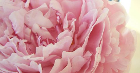 Pink Peonies Wallpaper