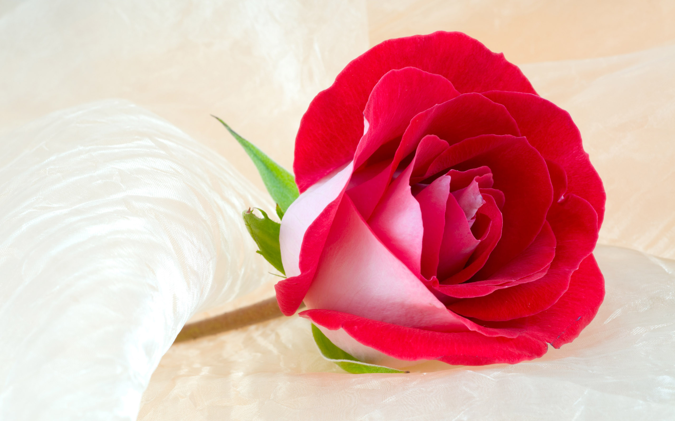 Wallpaper Download Rose Flower