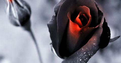 Wallpaper Flower Black Rose