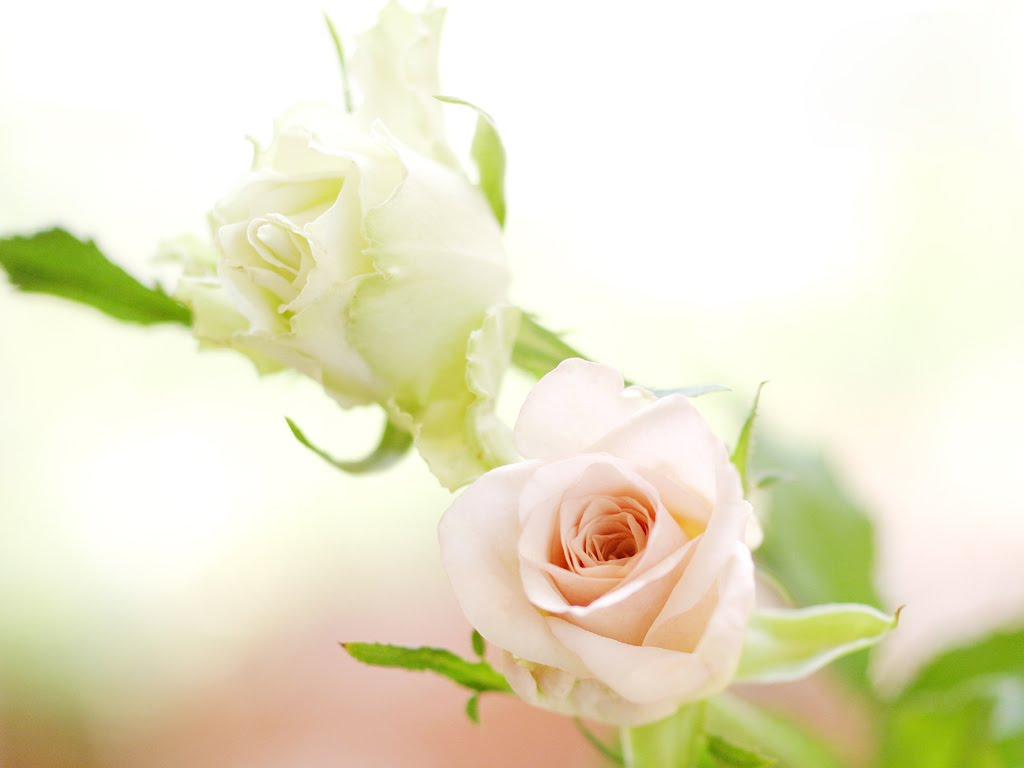 Download wallpaper flowers roses white gallery wallpaper flowers roses white mightylinksfo