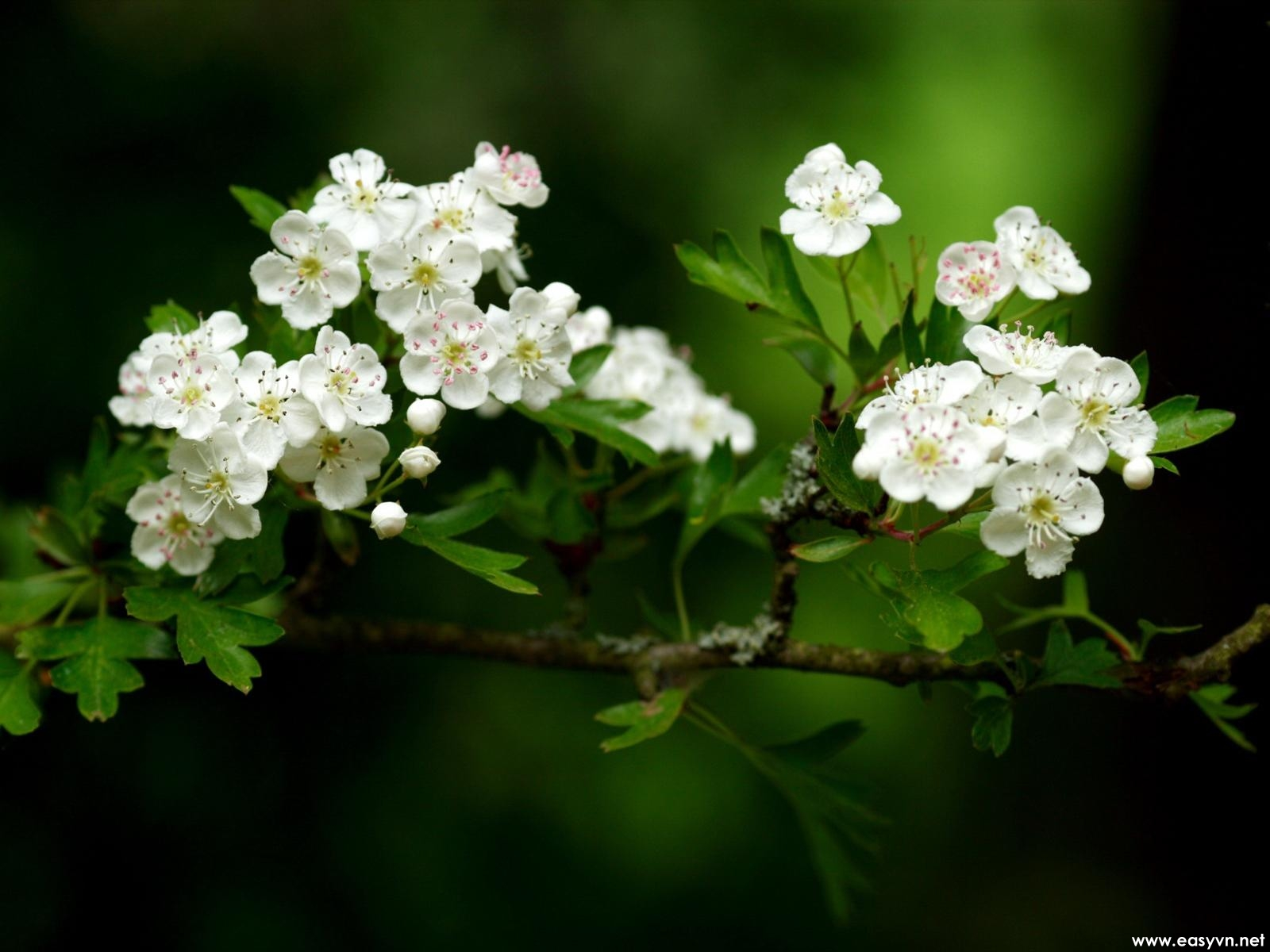 Download White Flowers Wallpapers Gallery