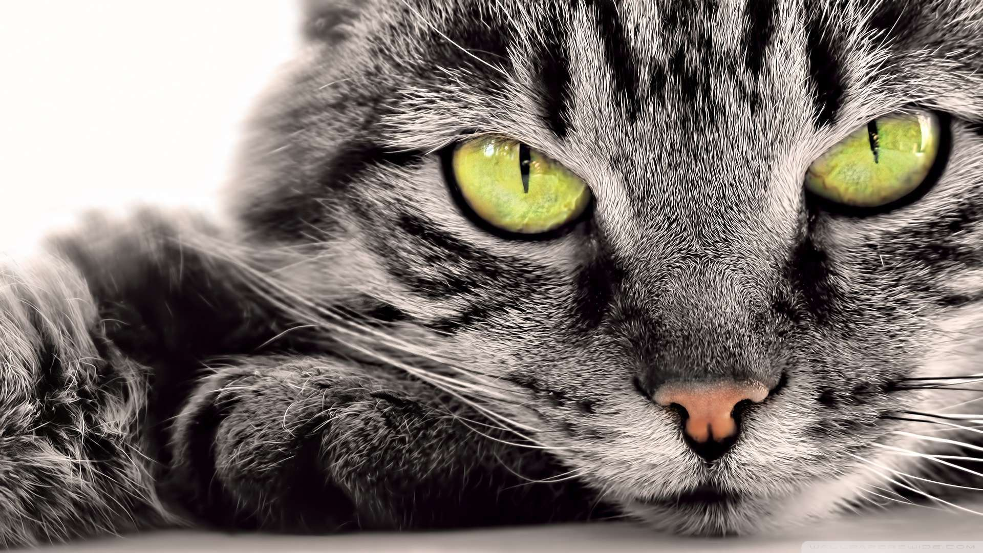 1080p Cat Wallpaper