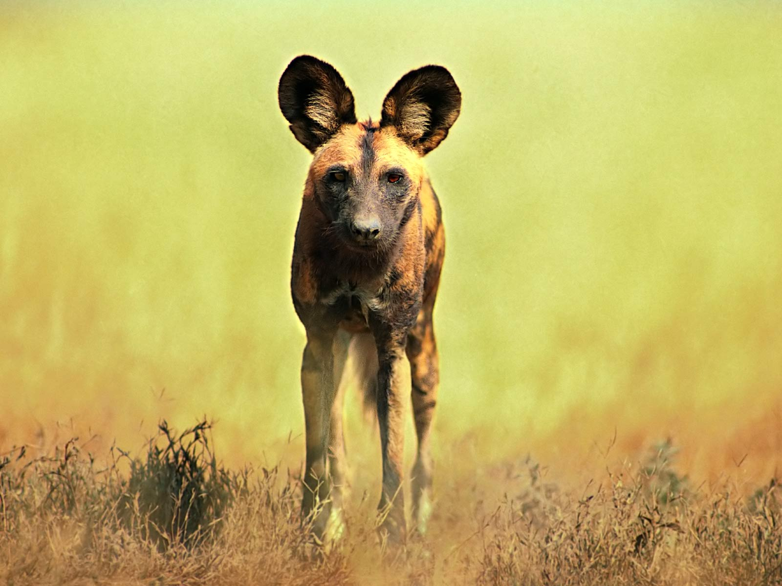 African Wild Dog Wallpaper