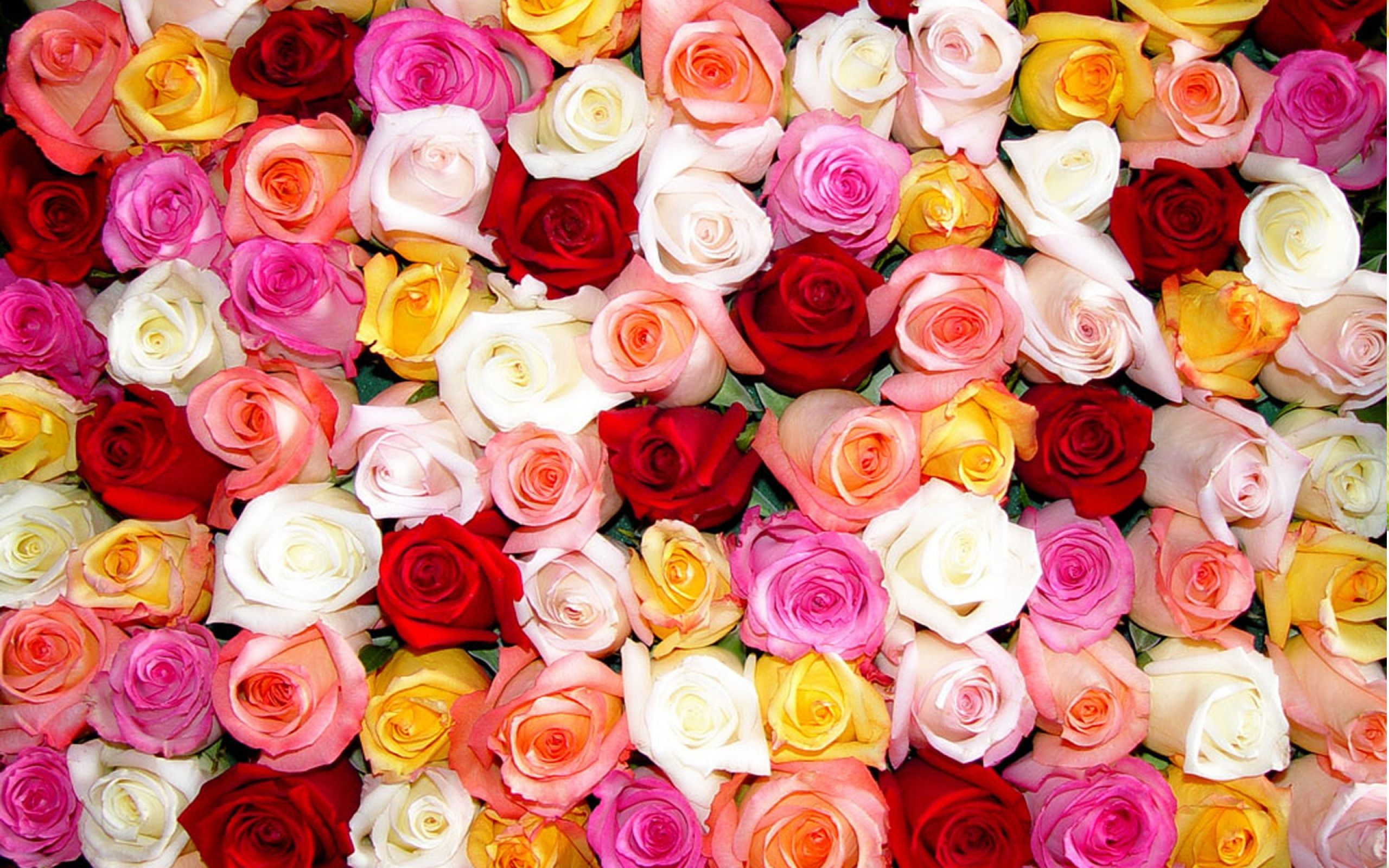 All Color Roses Wallpapers