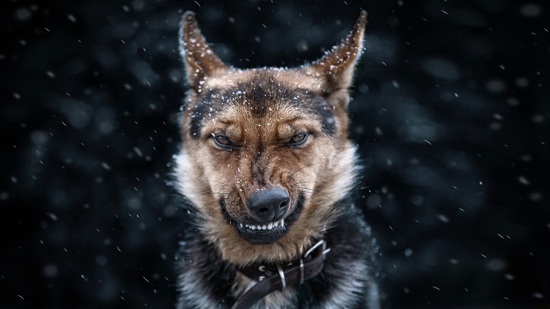 Angry Dog Wallpaper