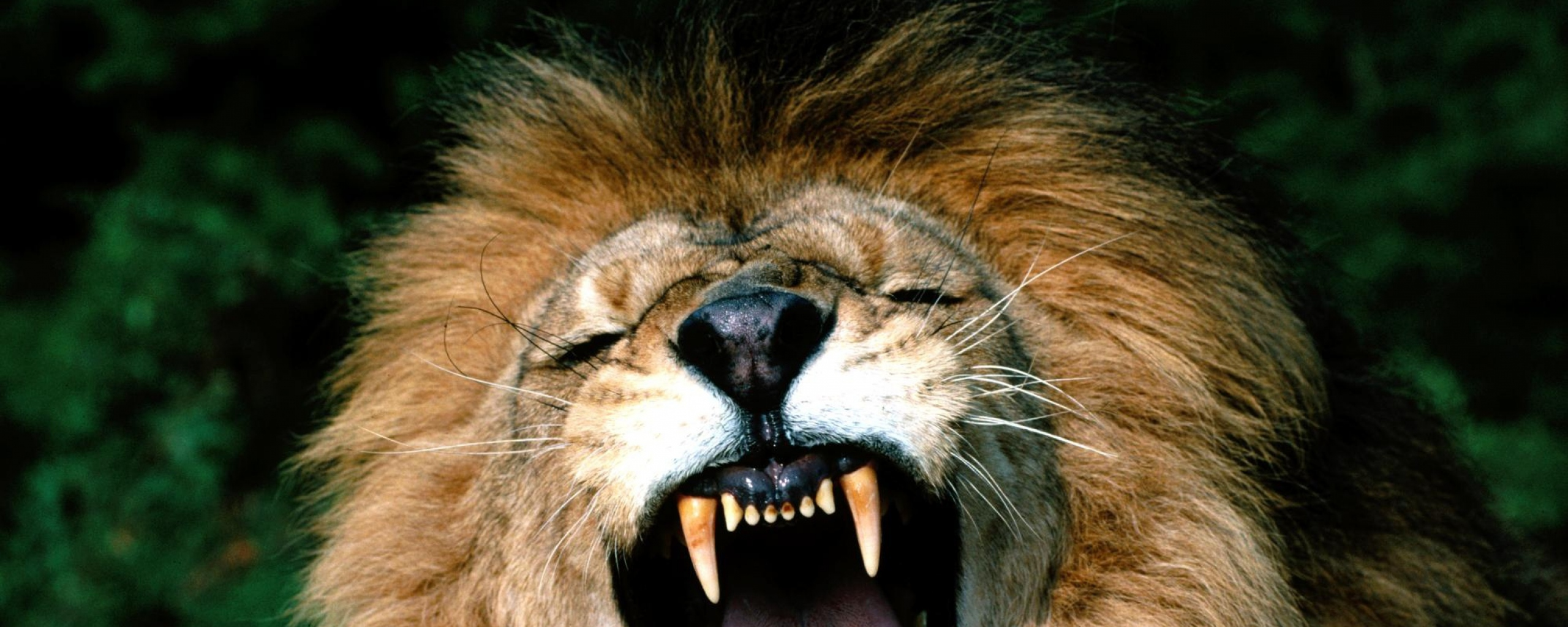 Download Angry Lion Face Wallpaper Gallery