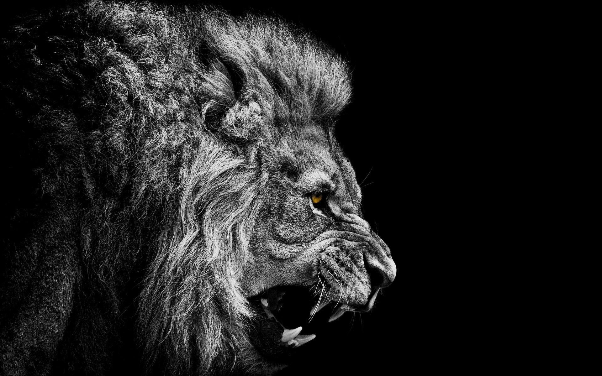 Angry Lion Face Wallpaper