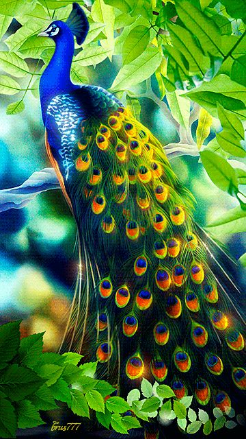 Animated Peacock Wallpapers
