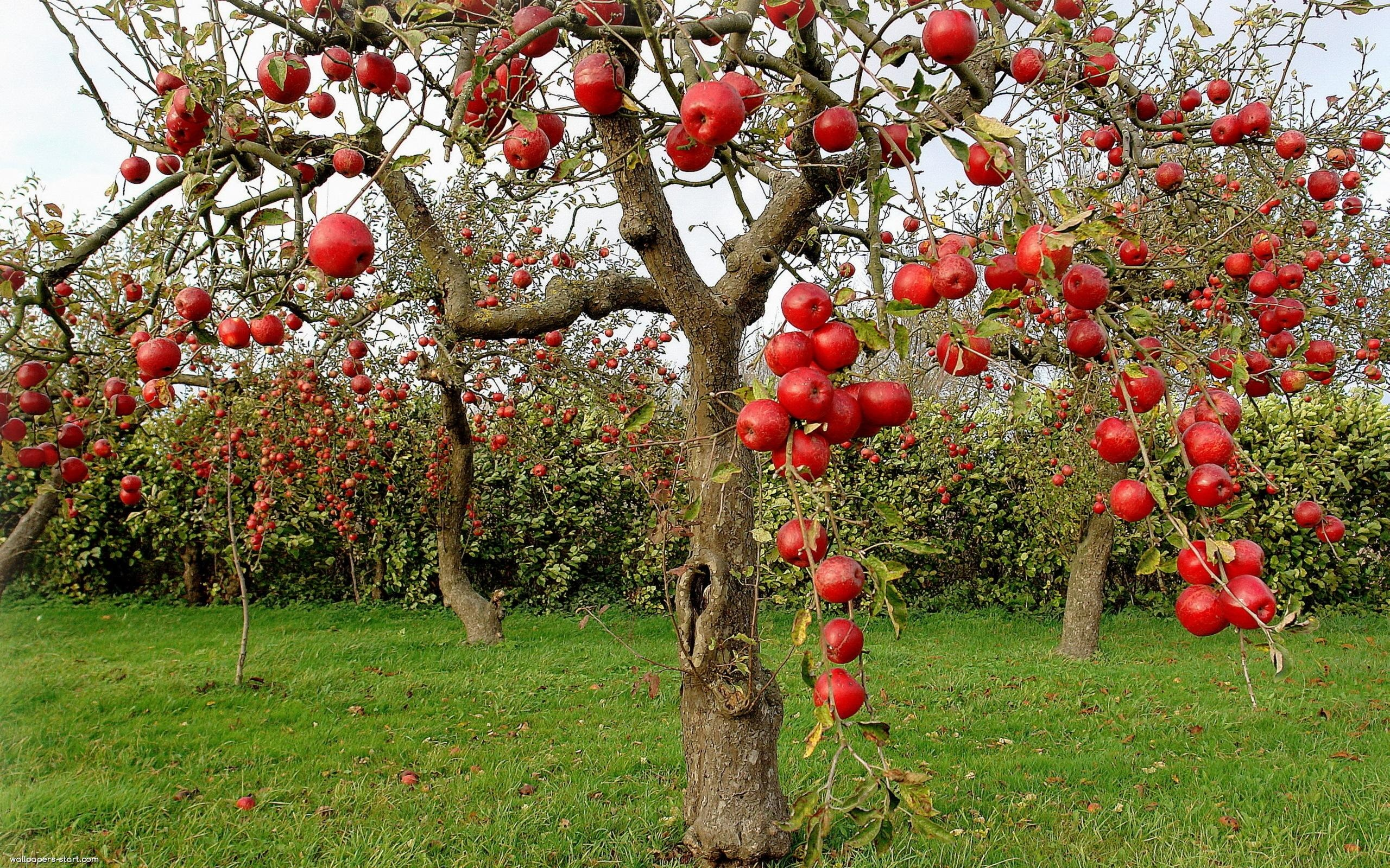 Apple Garden Wallpaper