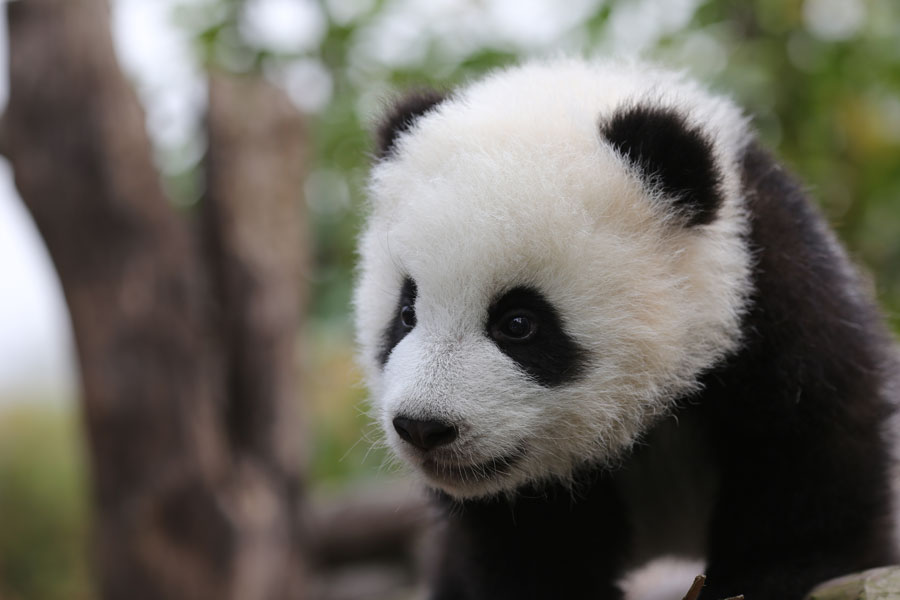 download baby panda hd wallpaper gallery