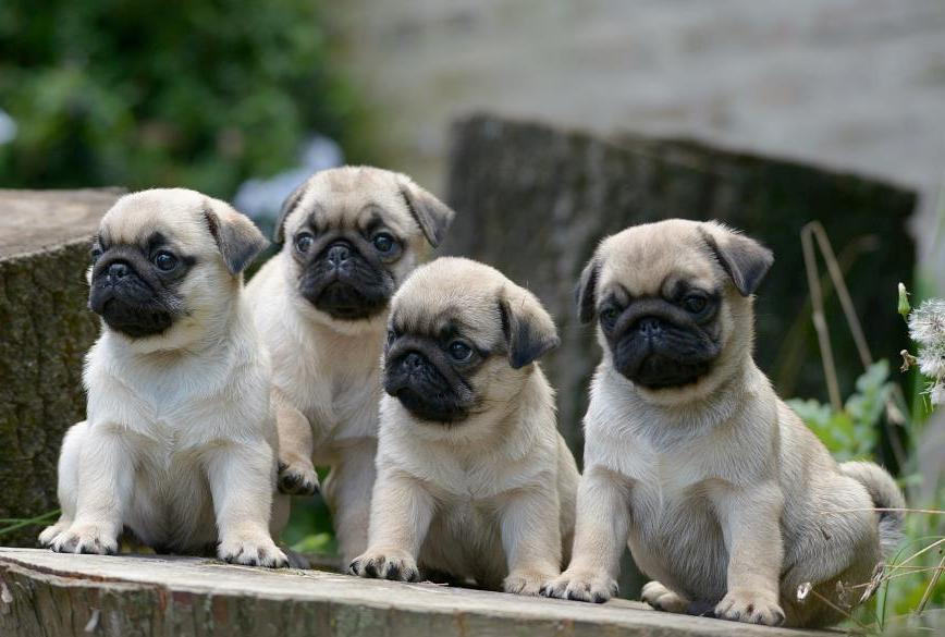 Download Baby Pug Wallpaper Gallery