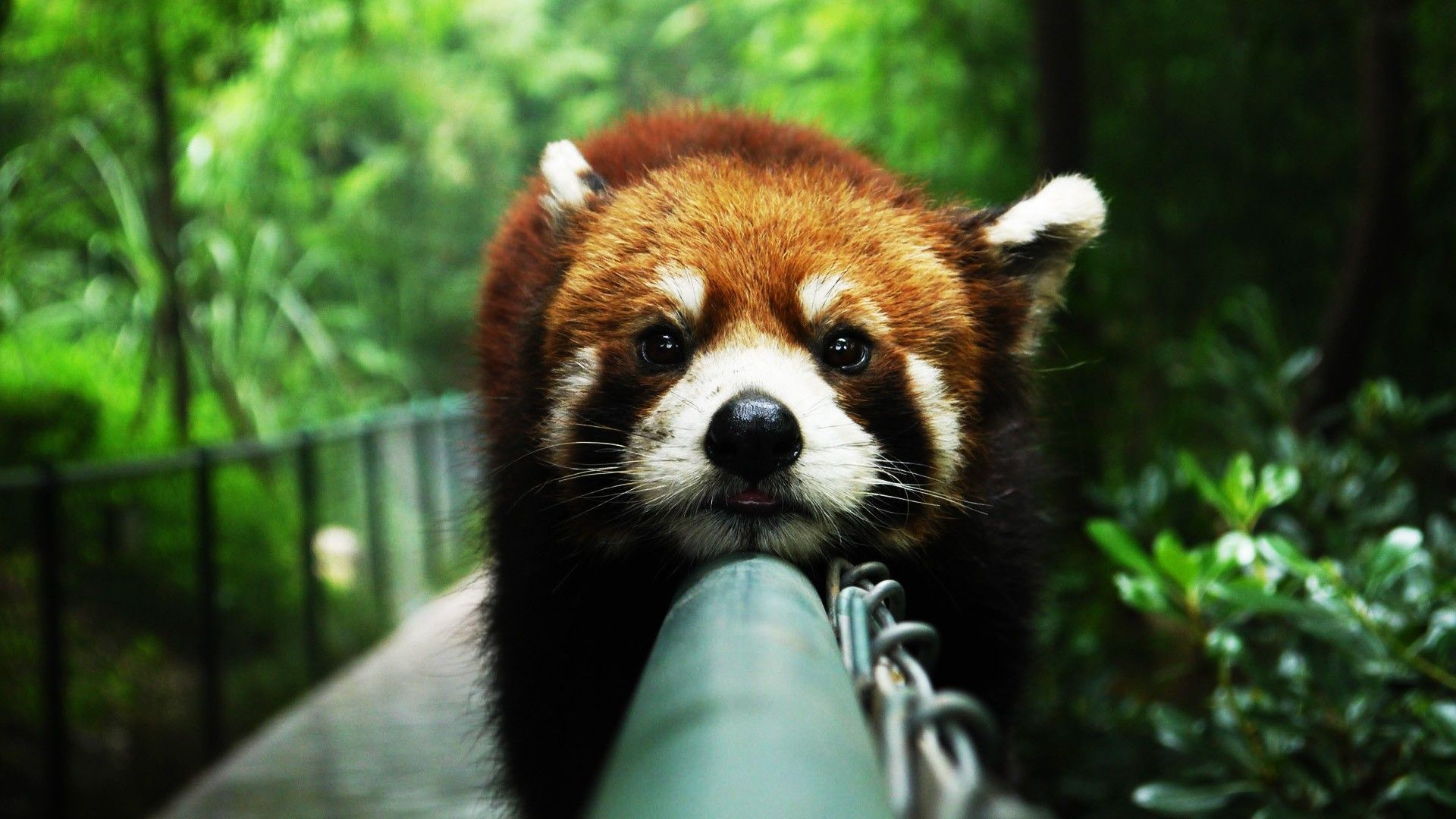 Baby Red Panda Wallpaper