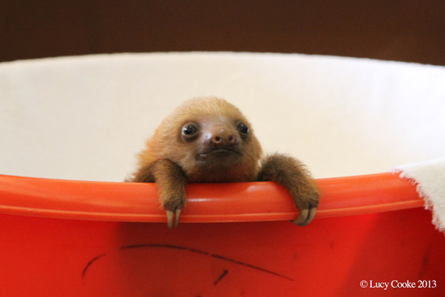 Download Baby Sloth Wallpaper Gallery