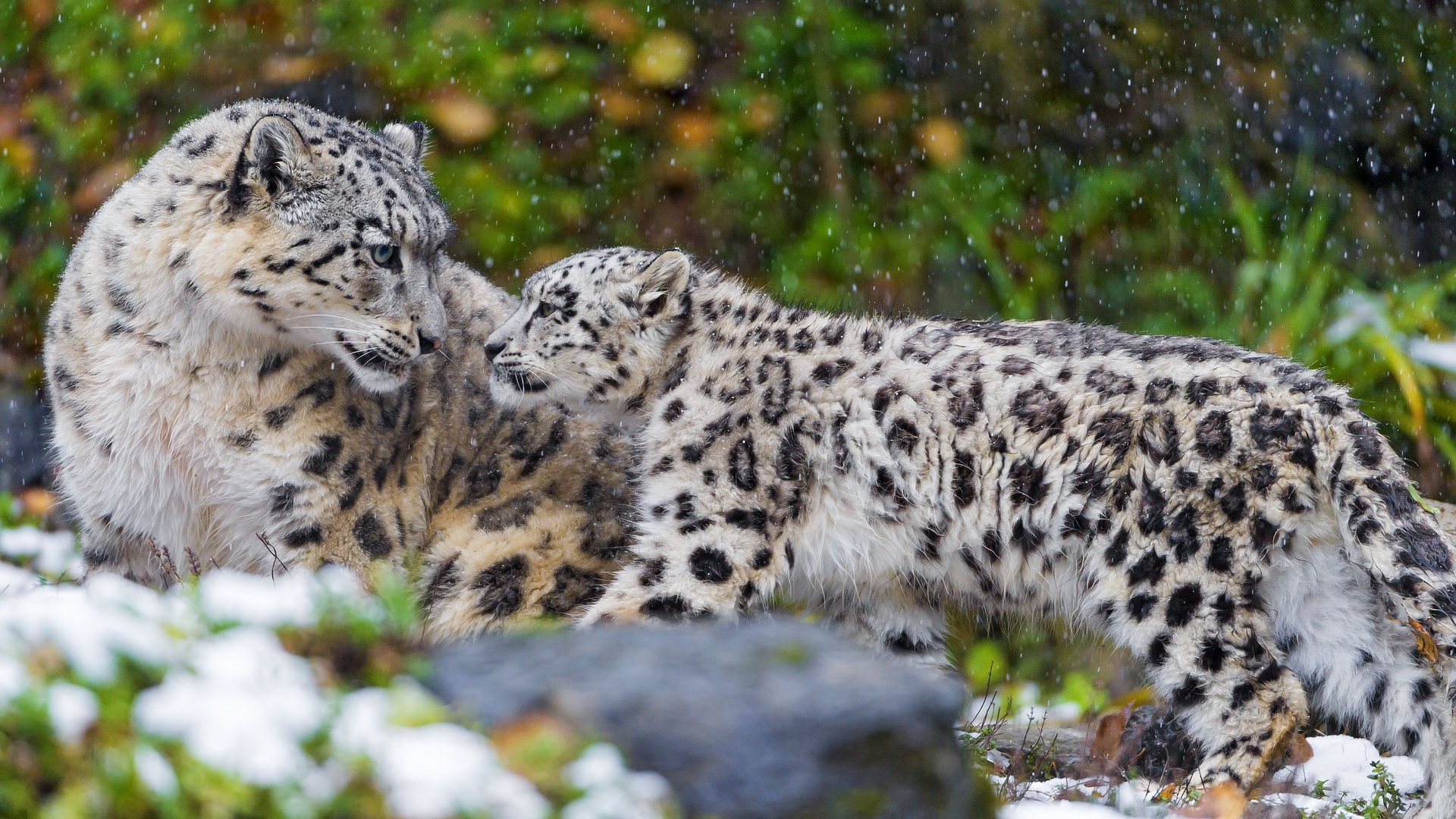 Baby Snow Leopard Wallpaper