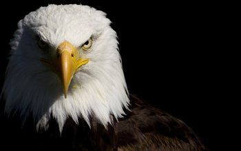 Bald Eagle Wallpaper