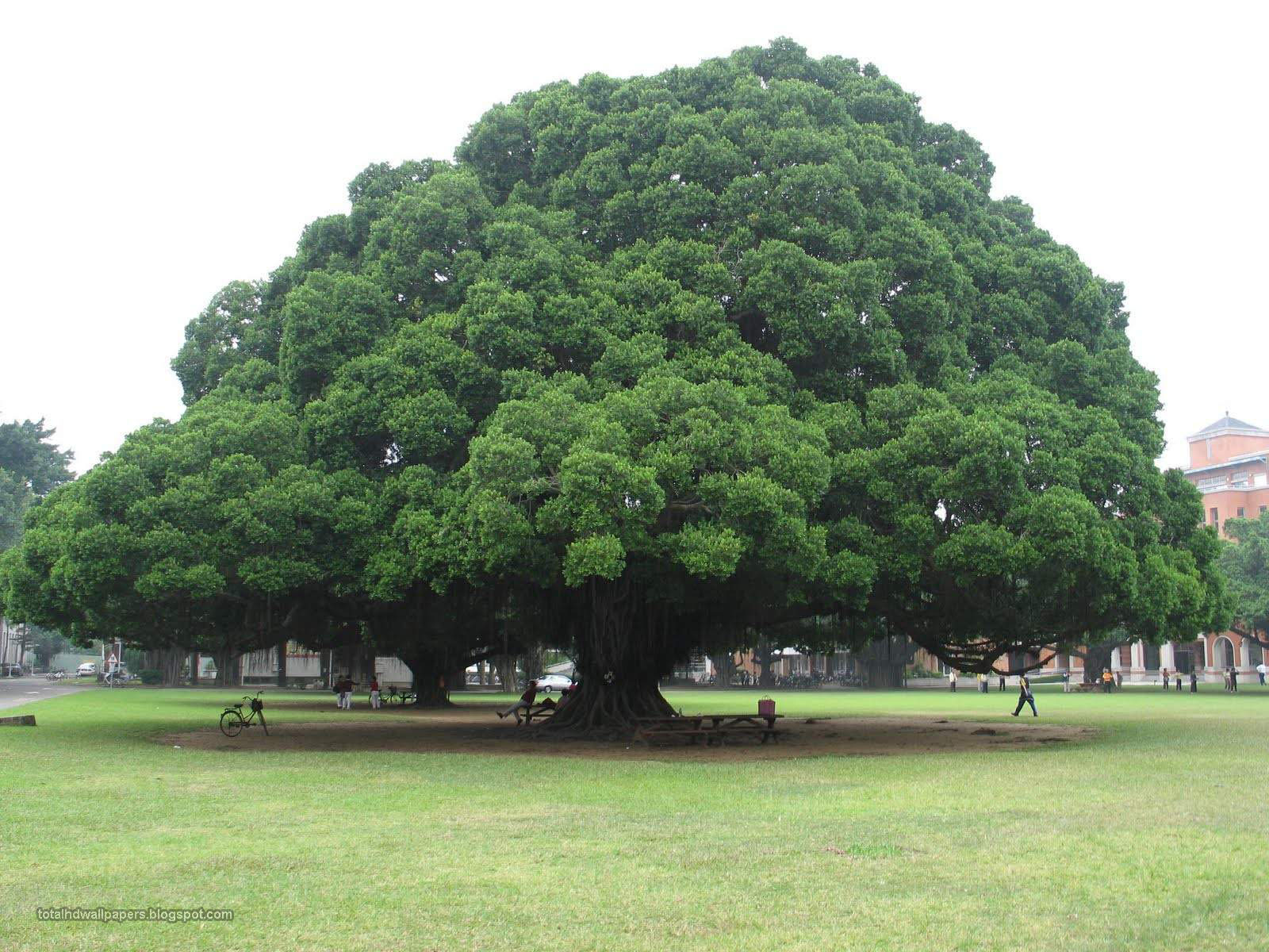 Download Banyan Tree Wallpaper Gallery