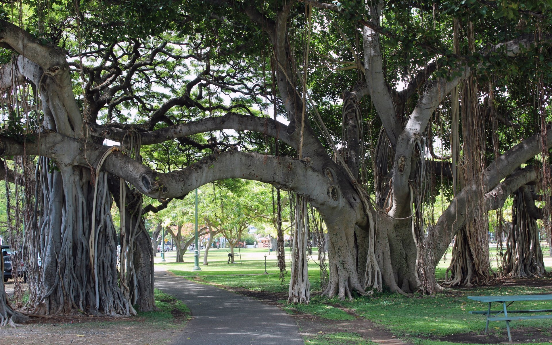 Banyan Tree Wallpaper