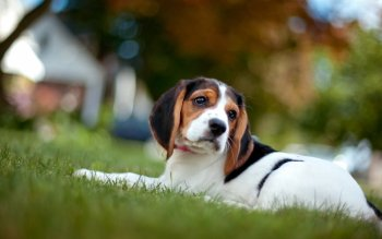 Beagle Dog Wallpaper