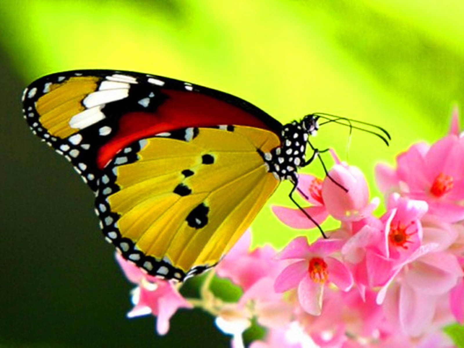 Beautiful Butterfly Wallpaper