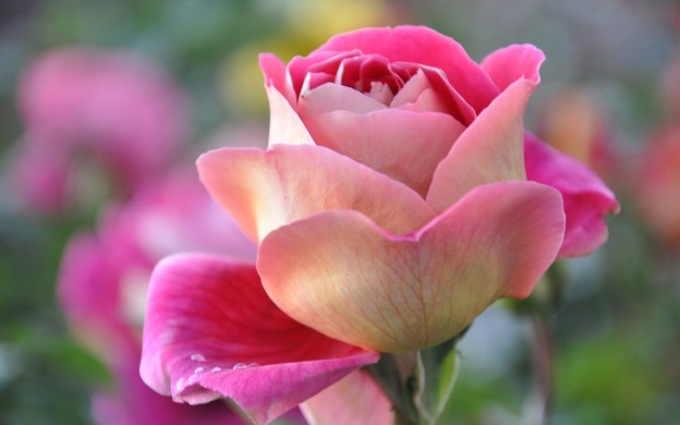 Download Beautiful Pink Roses Wallpapers Free Download Gallery
