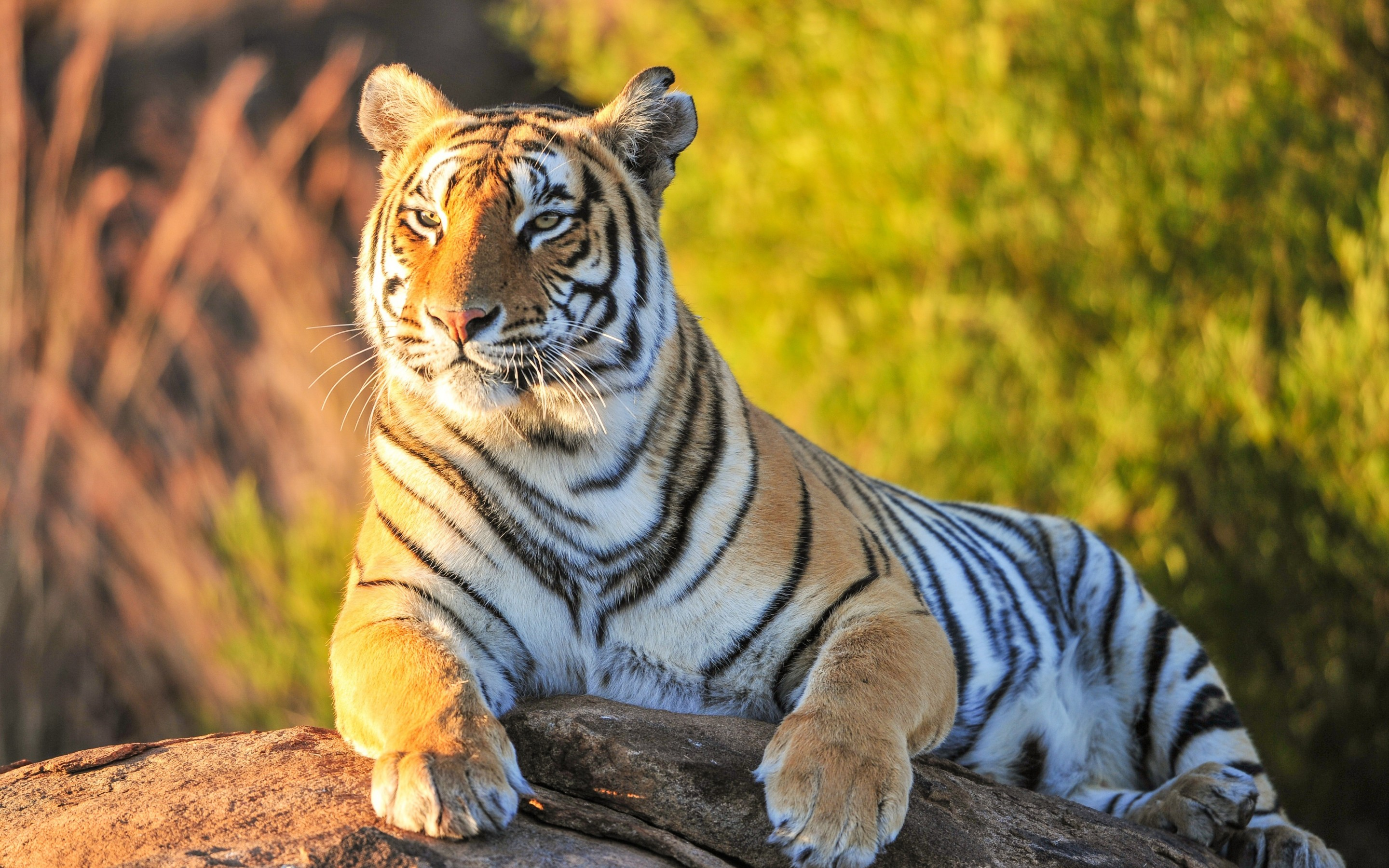Download Best Tiger Wallpapers HD Gallery