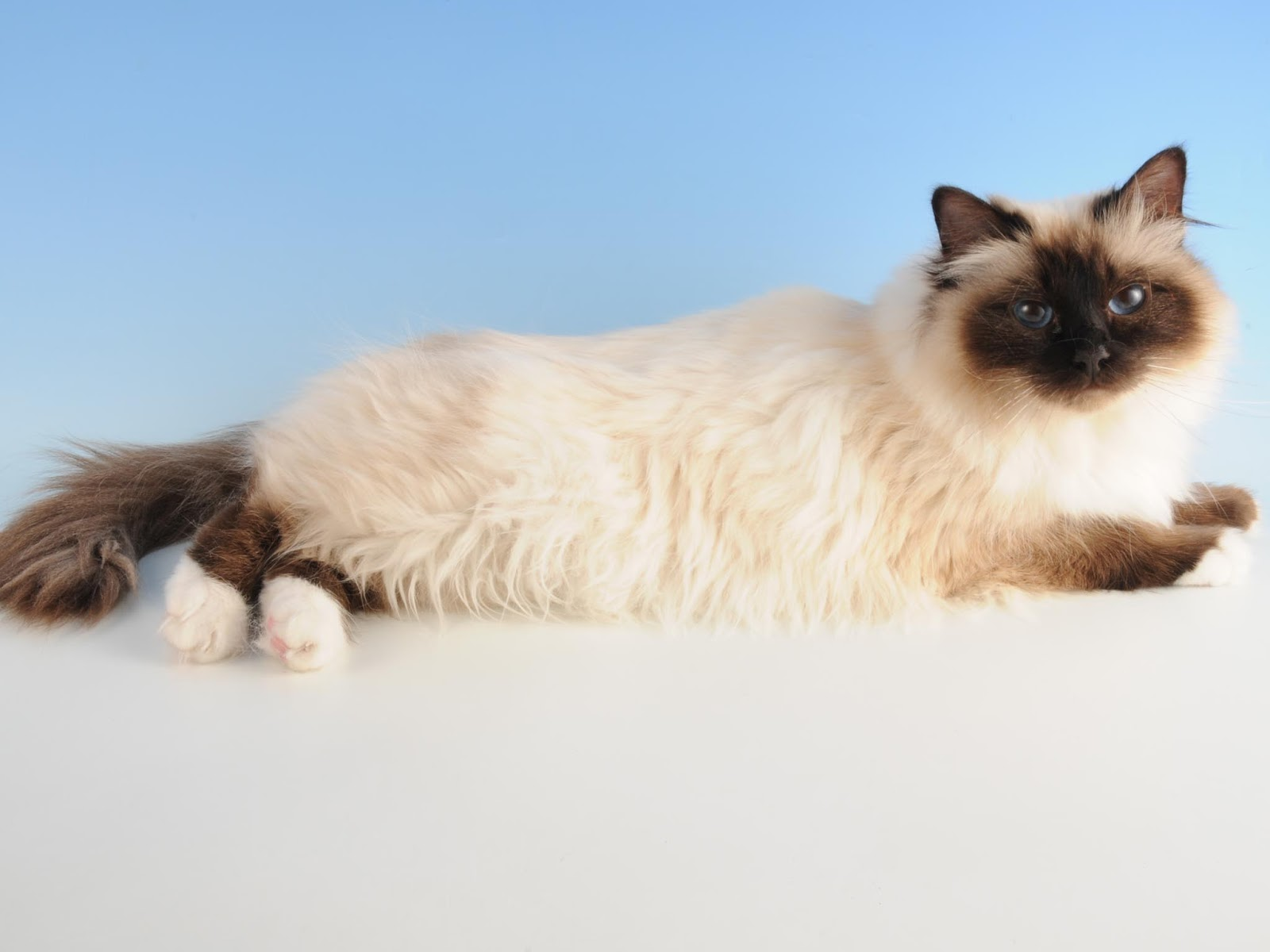 Birman Cat Wallpaper