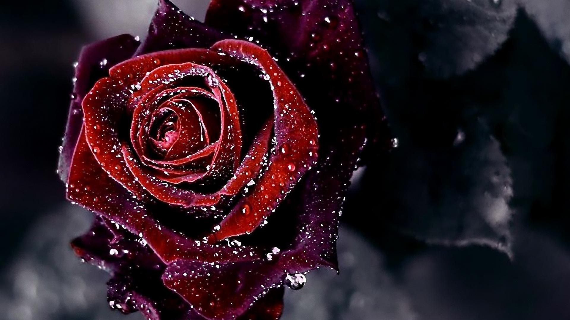 Black And Red Rose Wallpaper